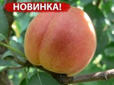 абрикос Tardicot (Тардикот)