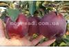 Яблоня Jeromine (Жеромин, Джеромине) — Макси сад
