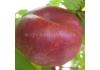 Инжирный Нектарин Платэрине 264 /Platerina ® 264/