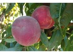 Персик Темира