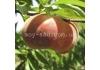 Инжирный персик Plane® Silver (Плэйне Сильвер, Плане Сильвер)