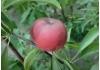 Слива Персиковая (гибрид персик-слива)