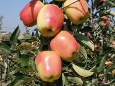 Яблоня Gold Pink (Голд Пинк)